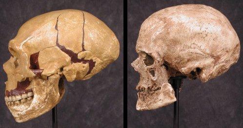 Neanderthal vs cro magnum, skull